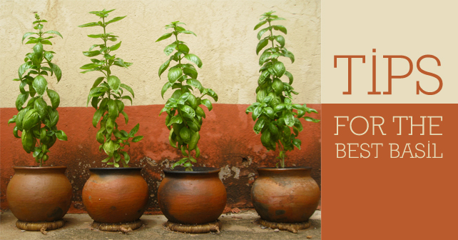Tips-for-the-best-basil